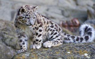 Бесплатные фото леопард,котенок,морда,лапы,хвост,шерсть,камень