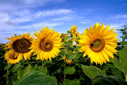Бесплатно подсолнухи, флора - фото новые