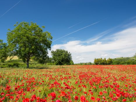 Фото бесплатно маки, пейзаж, деревья