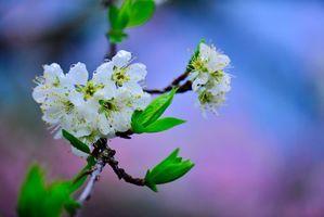 Фото бесплатно цветы, вишня, цветет