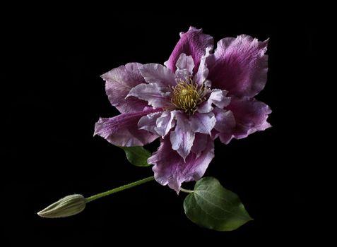 Бесплатные фото Clematis Elizabeth,Клематис,Violet Elizabeth,Виолет Элизабет,цветок,флора