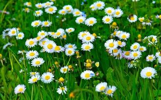 Фото бесплатно поляна ромашек, кустарник, ромашки, лето, трава, зелень