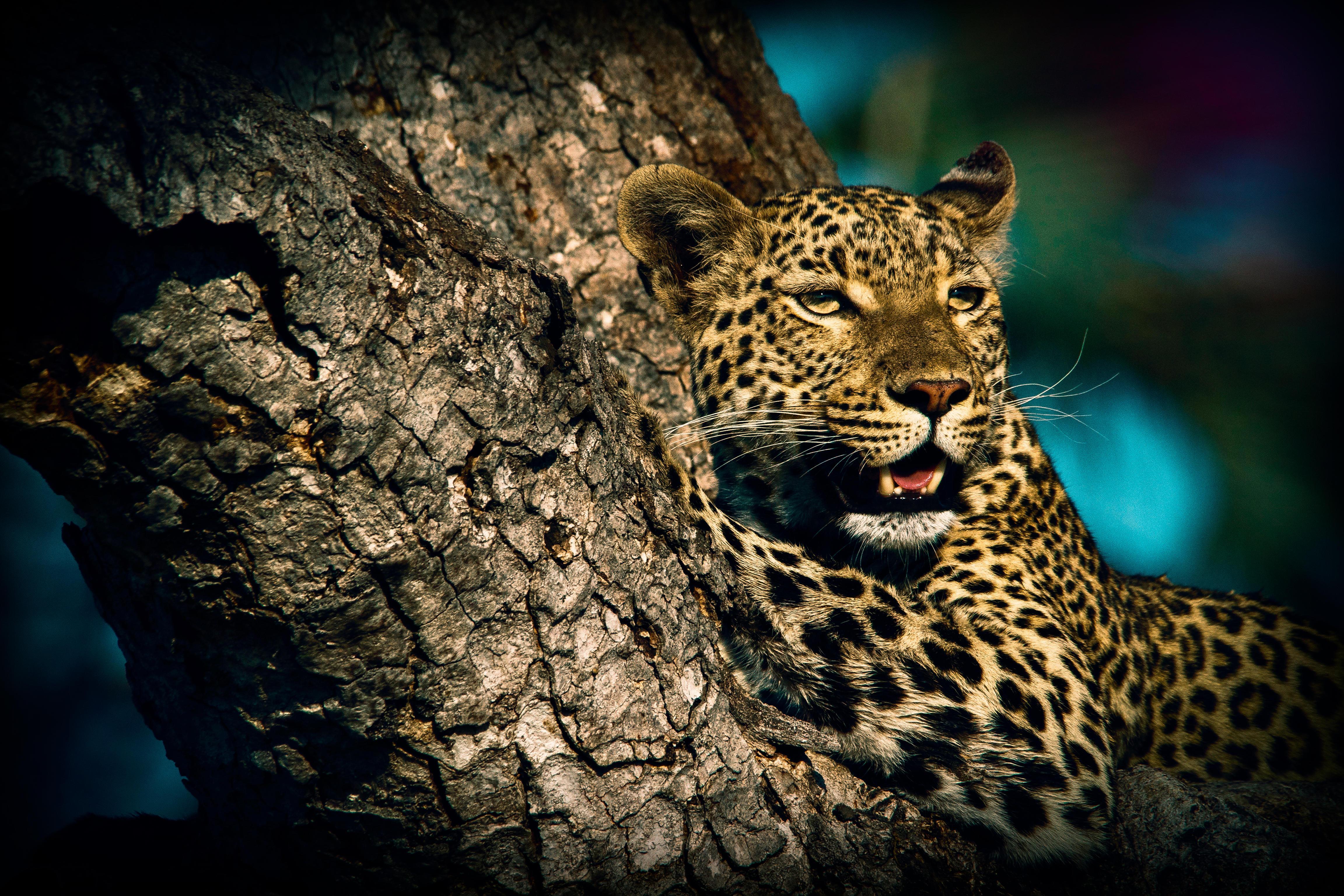 Обои леопард, хищник, животное