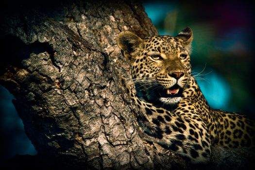 Фото скачать хищник, леопард