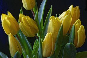 Заставки тюльпаны, желтый, бутоны