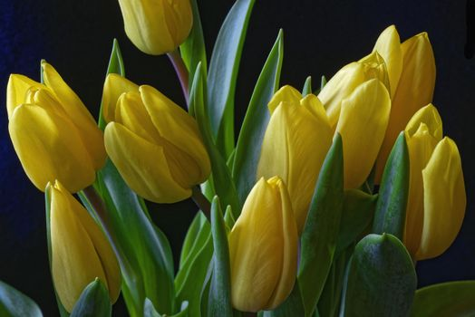 Photo free tulips, yellow, buds