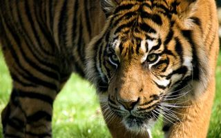 Фото бесплатно тигр, охотник, хищник
