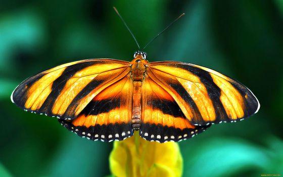 Фото бесплатно бабочка, полосатая, крылья