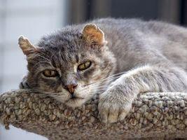 Бесплатные фото кот,старый,уши,глаза,грусть,состояние,кошки