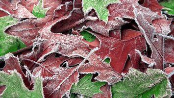 Фото бесплатно листья, клен, иней, несколько, красиво, зеленый, красный, природа