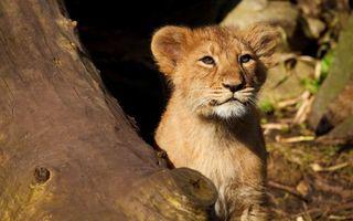 Бесплатные фото львенок,дерево,взгляд,кошки