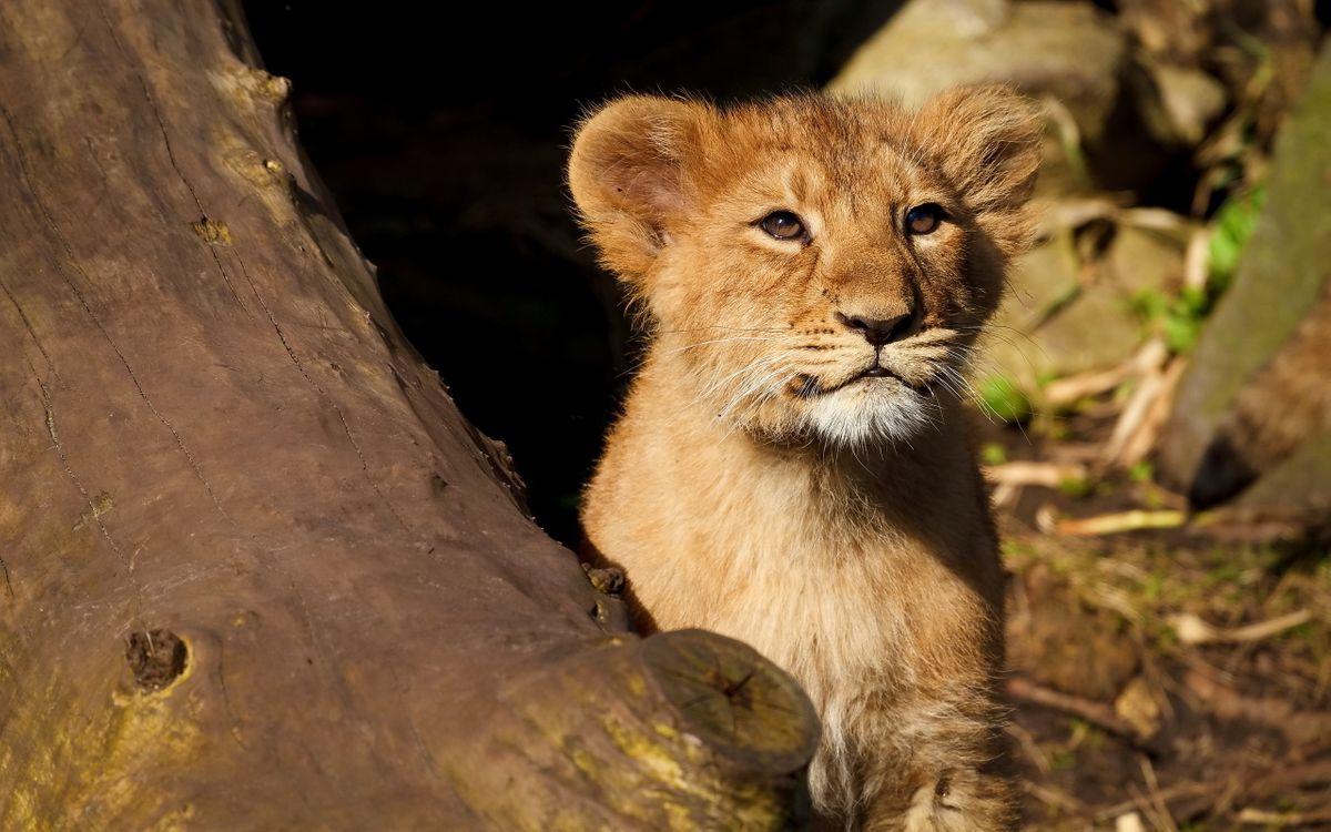 Фото бесплатно львенок, дерево, взгляд, кошки, кошки