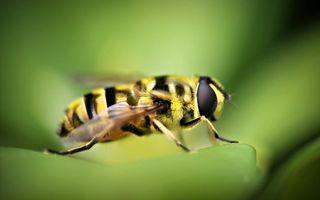 Обои пчела, оса, полосатая, жало, крылья, брюшко, трава, яд, зелень, лес, парк, ножки