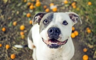 Бесплатные фото пес,щенок,порода,уши,шерсть,глаза,пасть