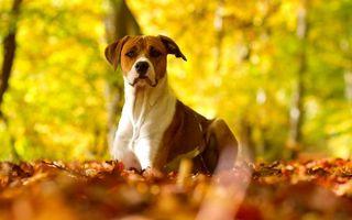 Заставки пес, сидит, уши