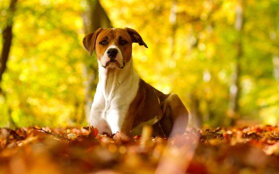 Фото бесплатно пес, сидит, уши