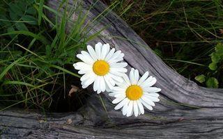 Бесплатные фото ромашки,лепестки,серединка,желтая,кора,полено,дерево
