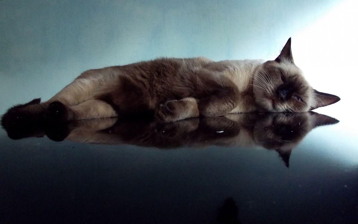 Фото бесплатно сиамская, кошка, лежит, спит, поверхность, отражение, ситуации, ситуации