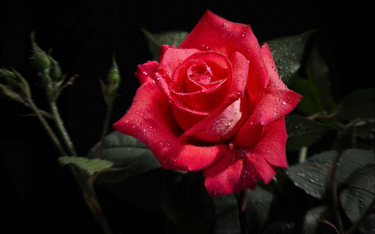 Фото бесплатно цветок, листья, лепестки, роза, красная, капли, роса, ветки, стебли, шипы, цветы, цветы