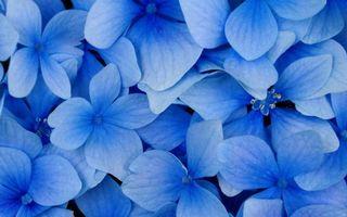 Бесплатные фото цветок,лепестки,листья,голубой,соцветия,куст,бутон