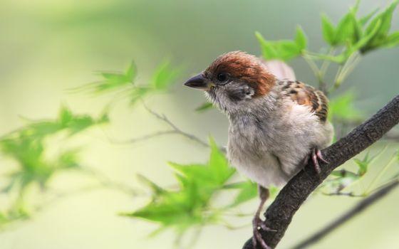 Фото бесплатно воробей, птица, птенец