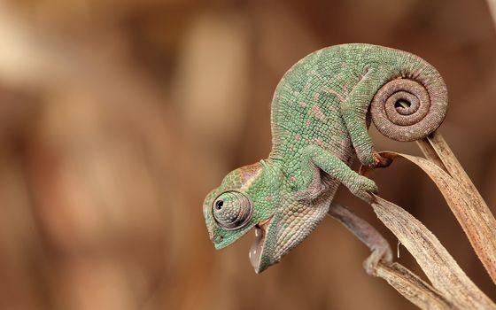 Фото бесплатно хамелеон, смотрит, сидит
