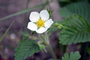 Фото бесплатно белый цветок, земляника, зелень