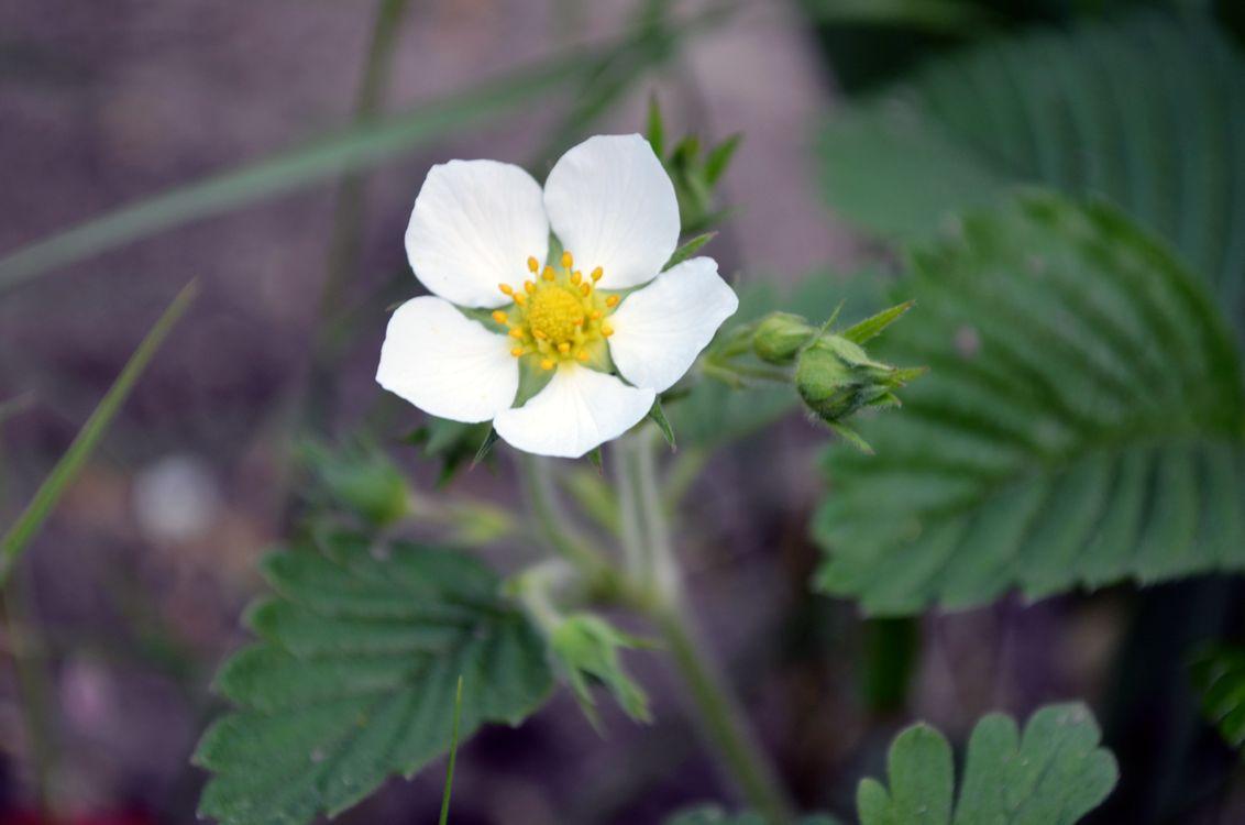 Фото бесплатно белый цветок, земляника, зелень, природа, земля, цветочек, цветы, цветы