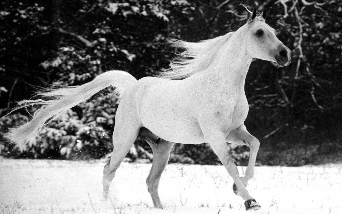 Фото бесплатно лошадь, белая, снег - на рабочий стол