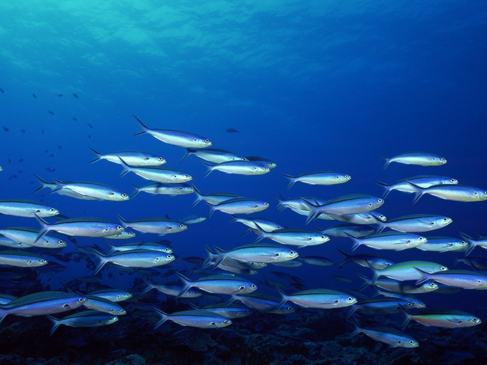 океан, рыба, косяк