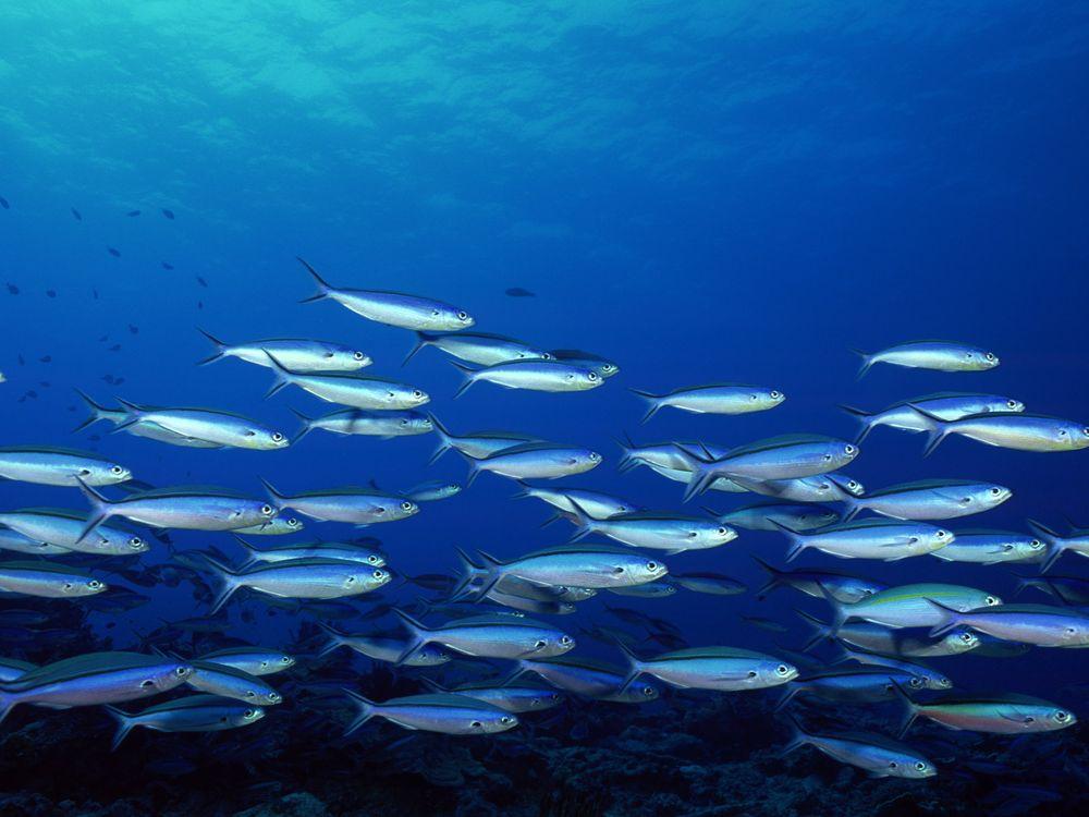 Фото бесплатно океан, рыба, косяк - на рабочий стол