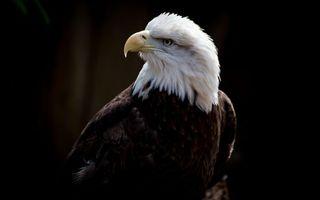 Бесплатные фото орел,белоголовый,клюв,глаза,перья,крылья,птицы