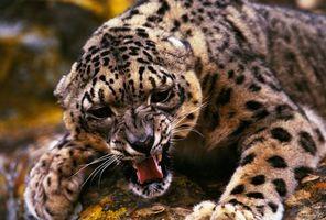 Заставки оскал гепарда, хищник, злобный, животные