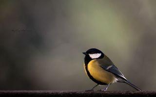 Фото бесплатно птичка, синичка, синица