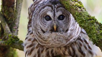 Фото бесплатно сова, серая, глаза