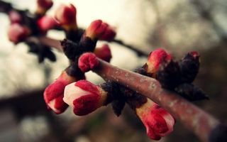 Заставки ветка,вишня,вцеток,бутоны,лепестки,листья,кора