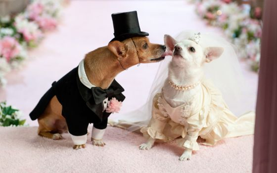 Бесплатные фото свадьба,собаки,любовь