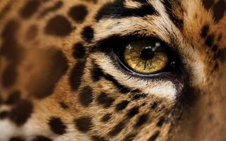 Фото бесплатно гепард, шерсть, окрас, пятна, глаз, зрачок, кошки