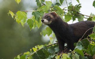 Бесплатные фото хорек,дикий,маленький,пушистый,шерсть,коричневый,лесной