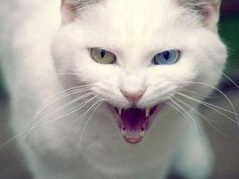 Бесплатные фото кот,глаза,разные,рот,клыки,зубы,злой