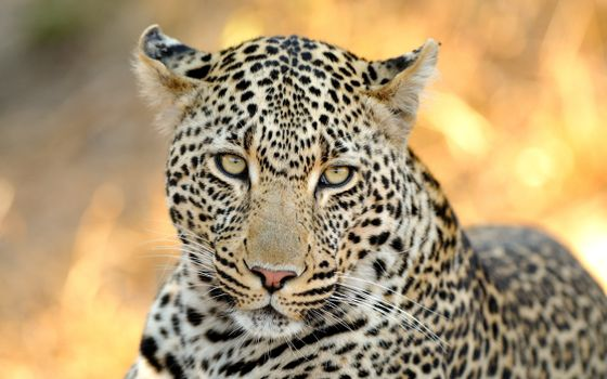 Photo free leopard, friendly eyes, animals
