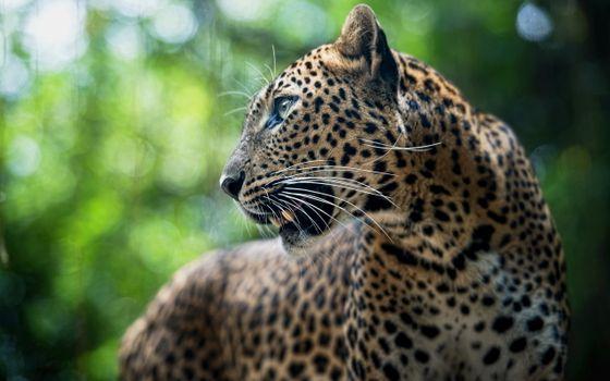 Заставки леопард, крупный, план