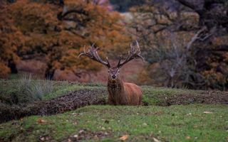 Обои олень, рога, морда, шерсть, взгляд, природа, животные