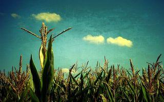 Бесплатные фото поле,кукуруза,зеленая,небо,облака,заставка,природа