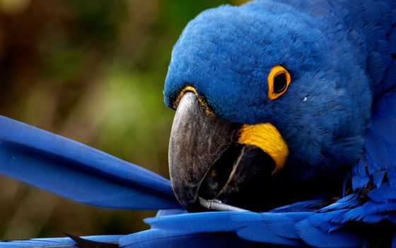 Photo free parrot, blue, feather