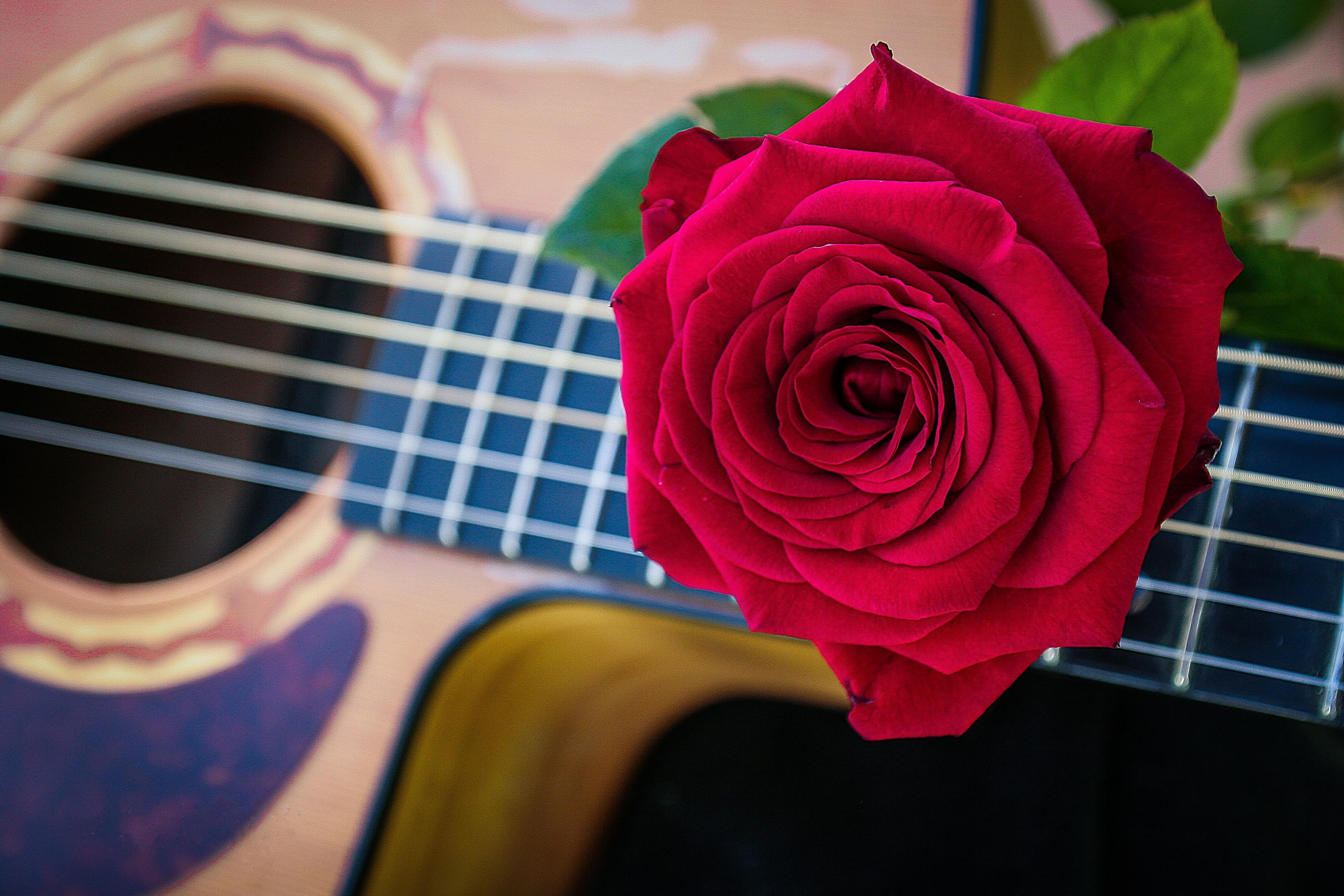 роза, цветок, флора