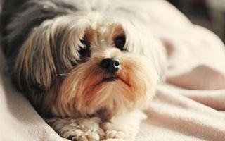 Бесплатные фото щенок,пес,шерсть,окрас,лапки,нос,глаза