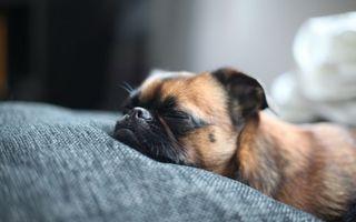 Фото бесплатно собака, спит, морда