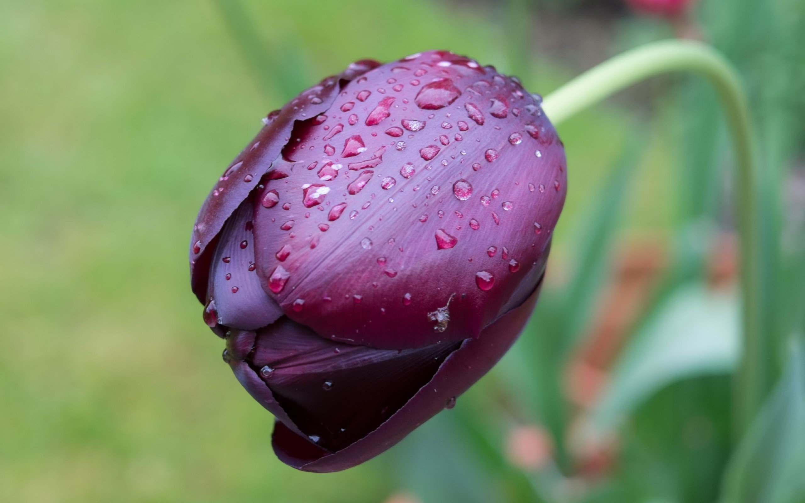 тюльпан, бордовый, бутон