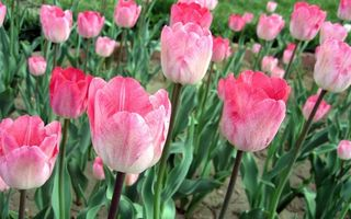 Бесплатные фото тюльпаны, поле, стебли, листья, лепестки, розовые, алые